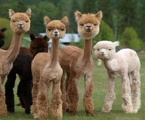 Difference between Llamas and Alpacas in Bears and Buds ...